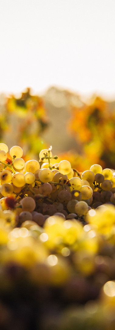 white_wine_grapes.jpg