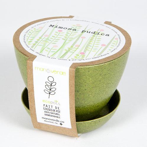 Minipot Mimosa pudica - Mano Verde