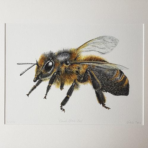 'Cornish Black Bee'mounted Giclée print