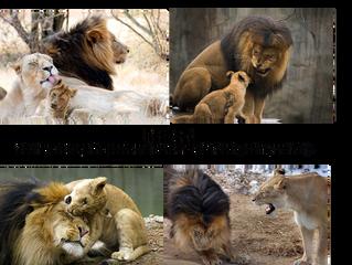 Lion as Packleader