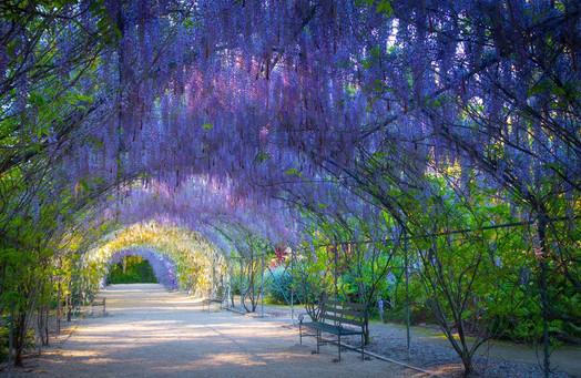 wisteria-lane-adelaide-botanic-gardens-s