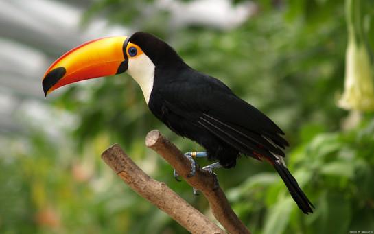 toucan-braziljpg