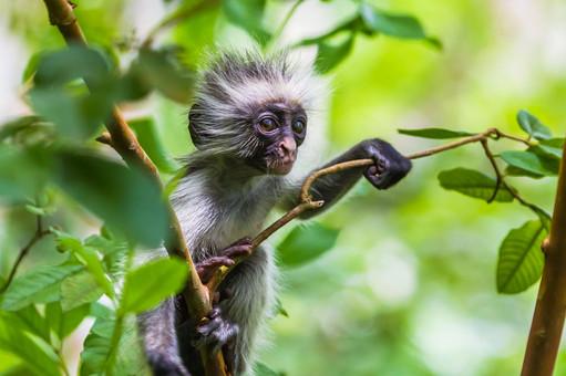 sansibar-red-colobus-affe-tansania-take
