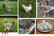 Prairie Bluebell Egger -HH Site.jpg