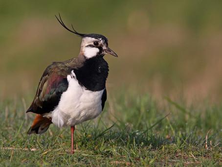 Vom Wiesenvogelschutz im Bremer Blockland