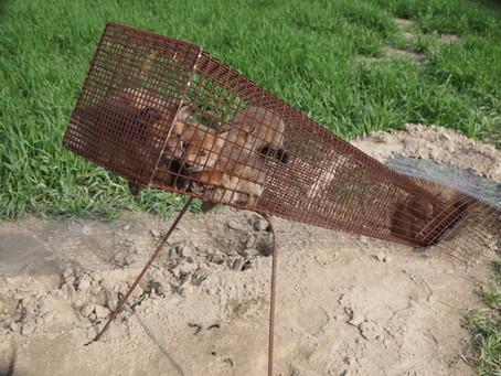 Tier- und Naturschützer protestieren gegen die Jagd auf Fuchswelpen