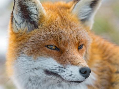 Fuchsjagd: Grausam und sinnlos