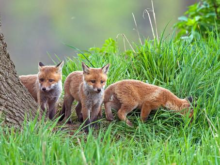Nachwuchs am Fuchsbau