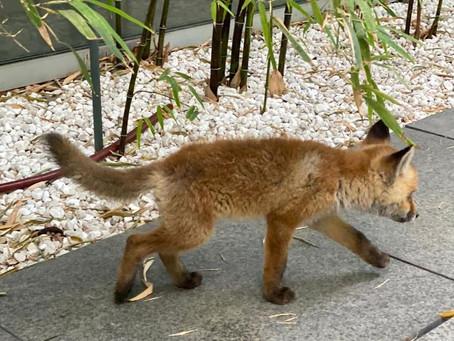 Mittenwald: Jäger erschießt hilflosen Fuchswelpen auf Lebenshof