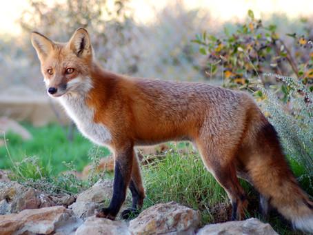 Luxemburg verlängert abermals das Fuchsjagdverbot