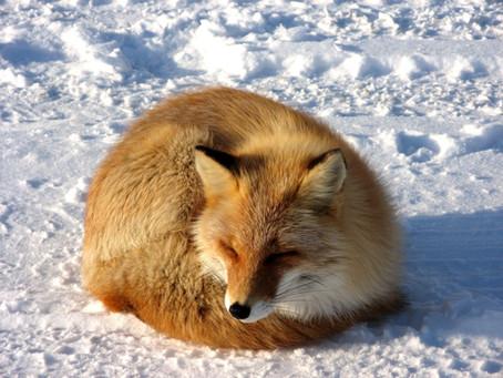 Erfolgsgeschichte: Fuchsjagdverbot  Luxemburg im sechsten Jahr