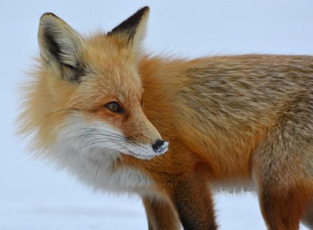 Fuchsjagd im Krefelder Zoo – Kritik an tendenziöser Berichterstattung