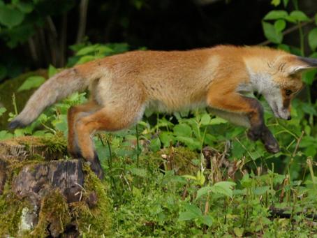 Wahlen in Luxemburg: Grüne und Linke zeigen klare Kante für den Wildtierschutz