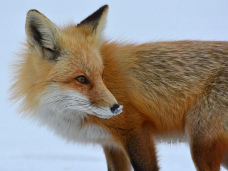 Neue Studie: Fuchsjagd fördert Fuchsbandwurm