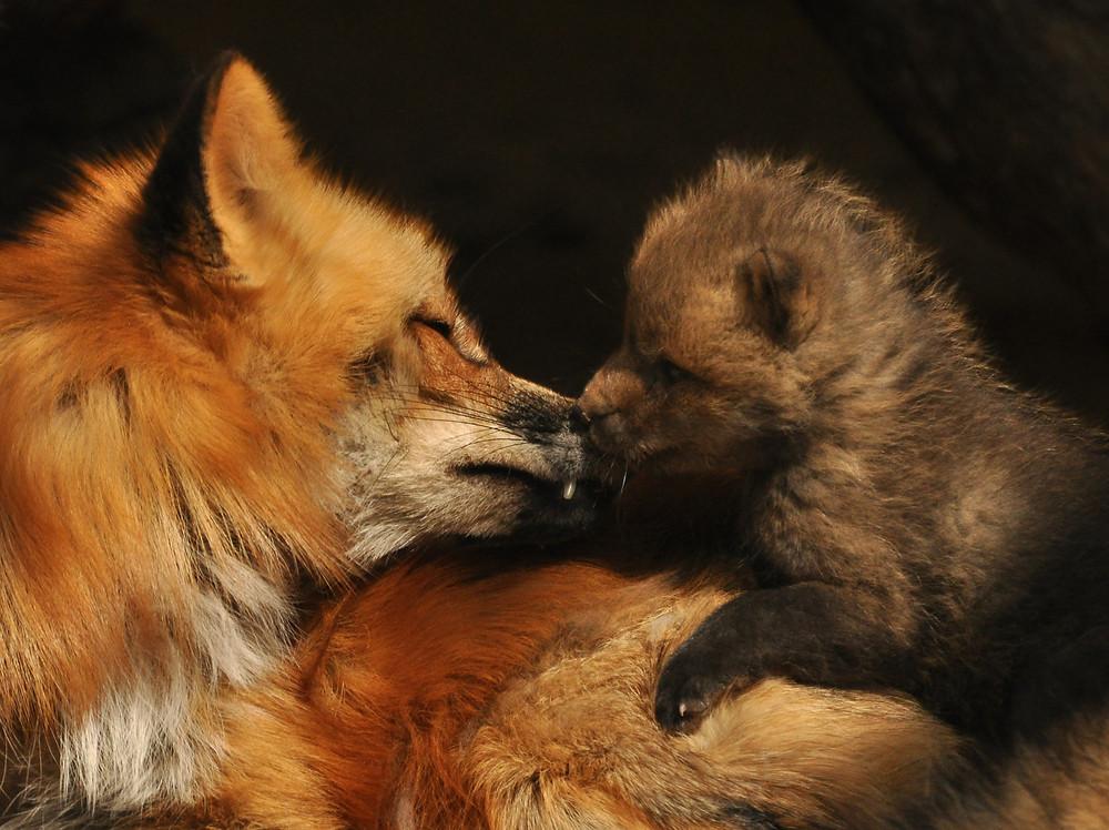 Fuchsrüde und Welpe
