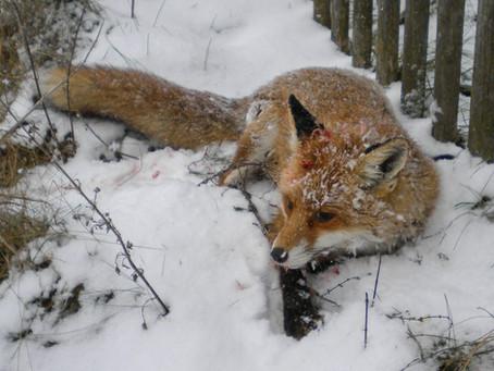 Grausamer Tod eines Fuchses in Oberbayern: Chronik einer Hetzjagd