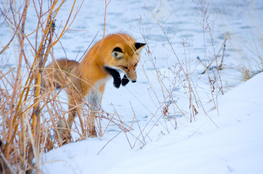 Mäusesprung des Fuchses im Schnee