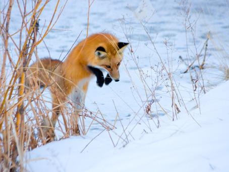 Information für Gesundheitsämter: Fuchsbandwurm, Lyme-Borreliose