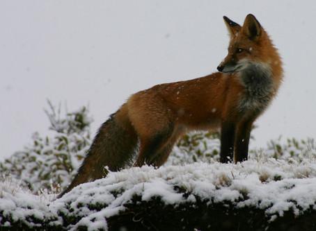 Tier- und Naturschutzorganisationen prangern grausame Fuchswochen an