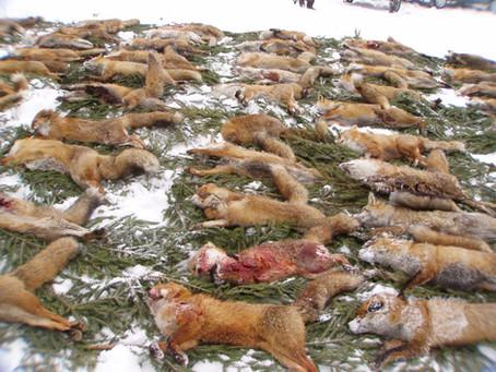 Über 40 Organisationen prangern grausame Fuchswochen an