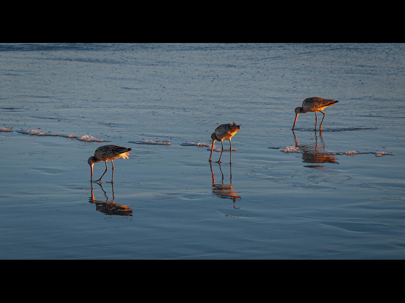 Bar Tailed Godwits