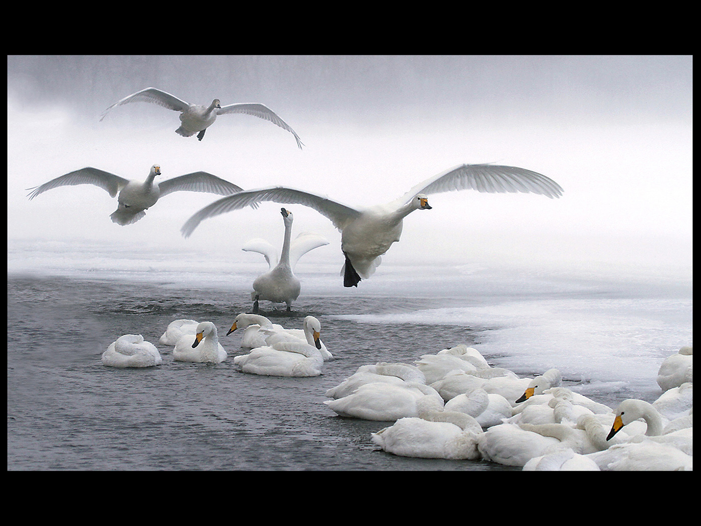 Whooper Swans in a Snow storm
