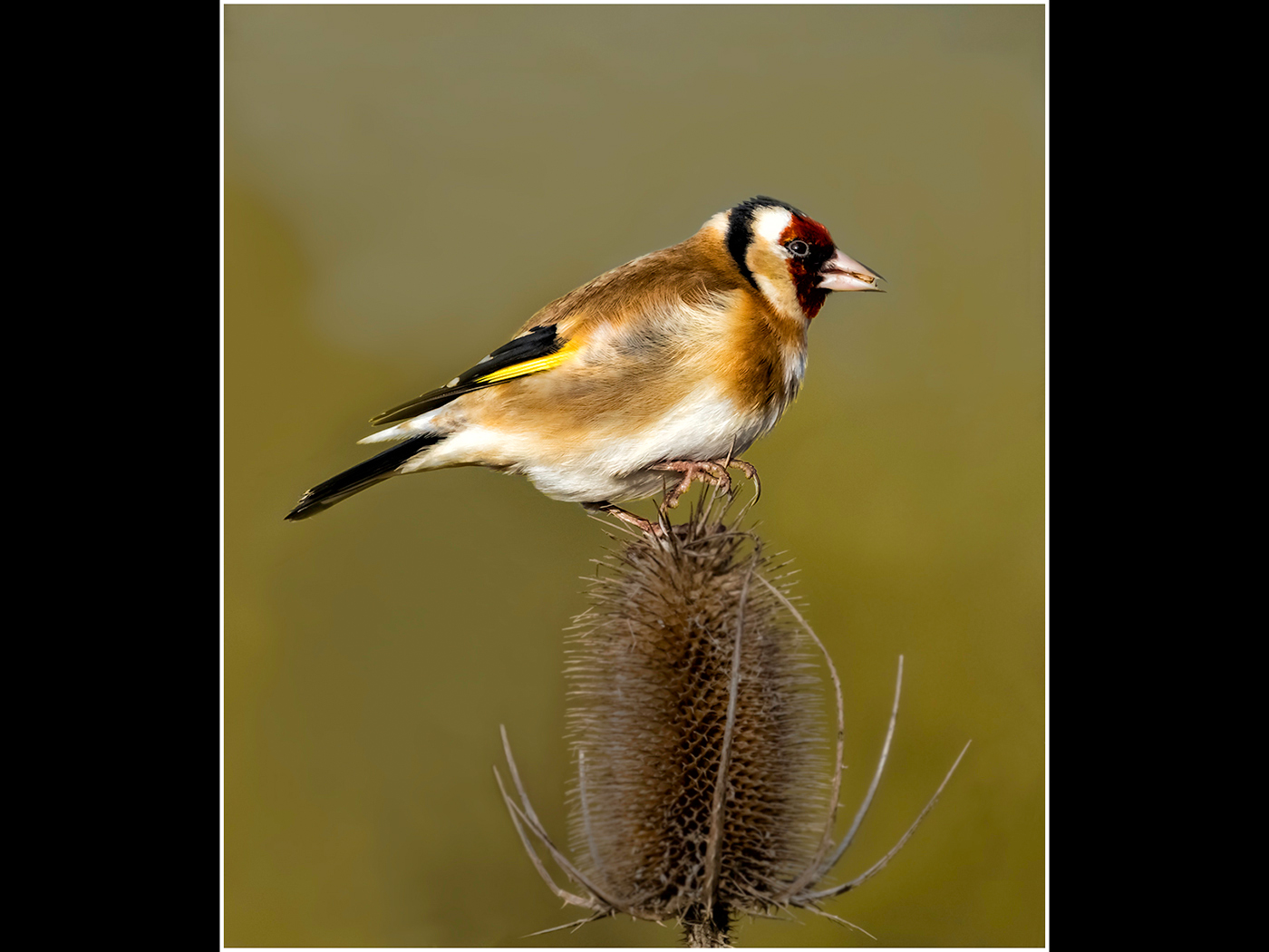 Goldfinch on Teasle