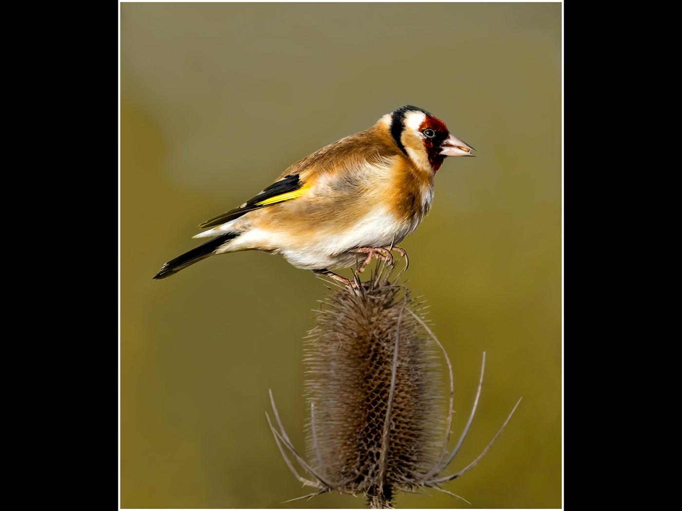 Goldfinch on Teasle