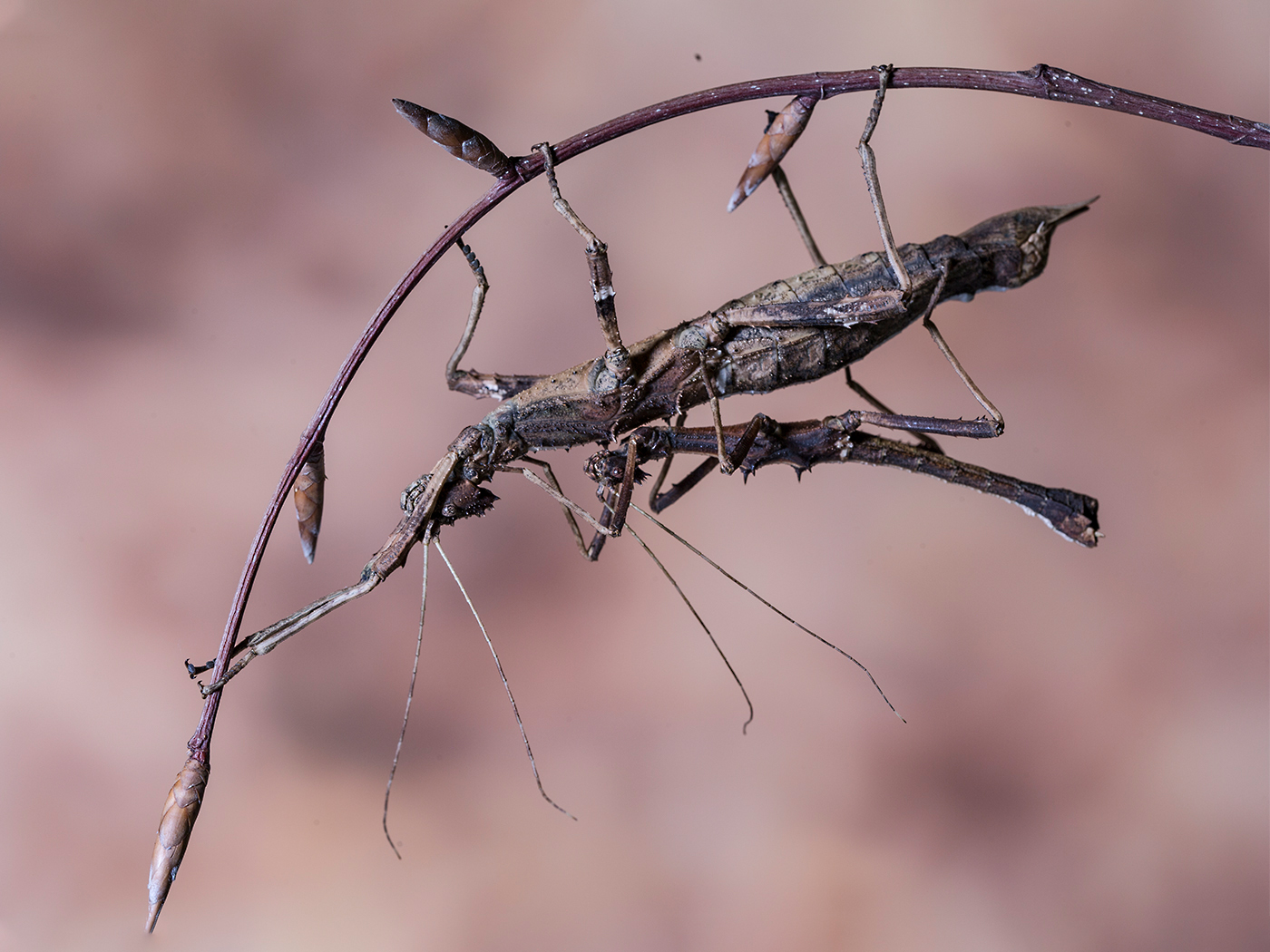 Two Stick insects Mateing