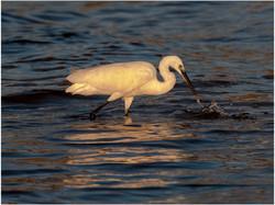 Little Egret in Evening Light