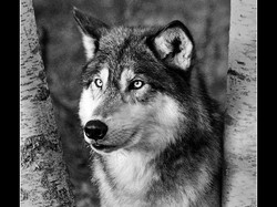 American Timber Wolf