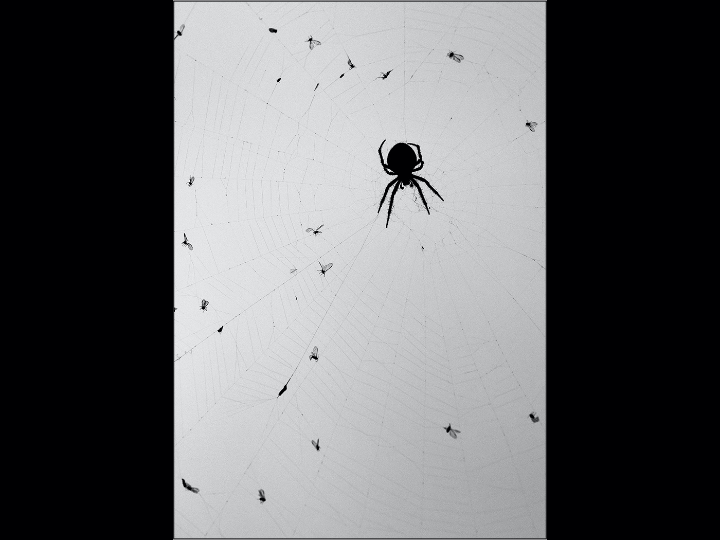 Death becomes her (Garden spider and pre