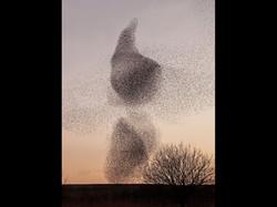A Starling Murmuration