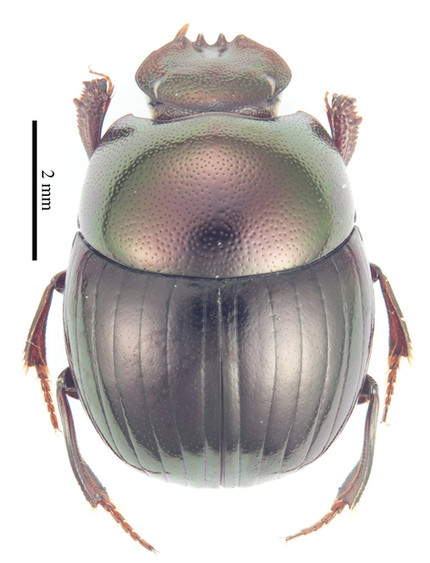 My cybertaxonomic key to the dung beetle genus Parachorius is now published... Click below to view
