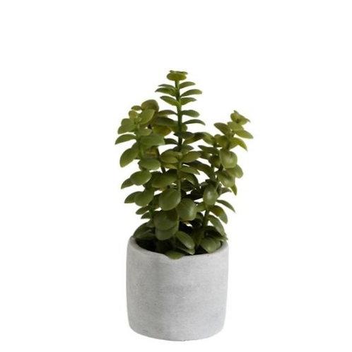 Suculenta em vaso, com 10x10x16 cm