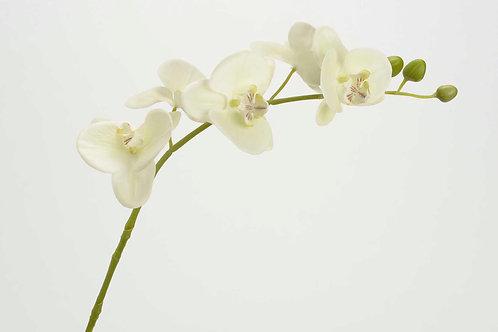 Orquidea Phalae Eden