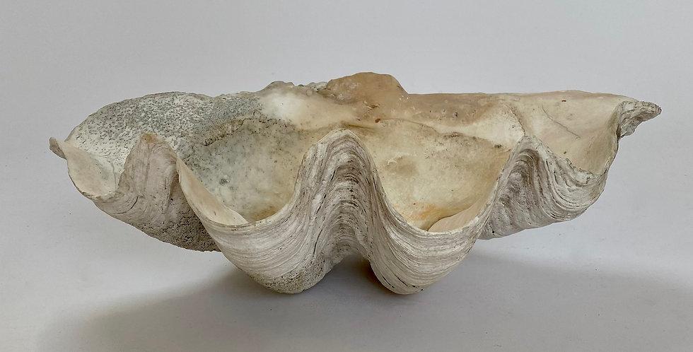 Antique Giant Clam Shell Tridacna Gigas