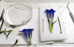 Gentian dissection.jpg