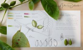 Walnut tree study