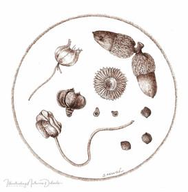 Seeds and seedpods