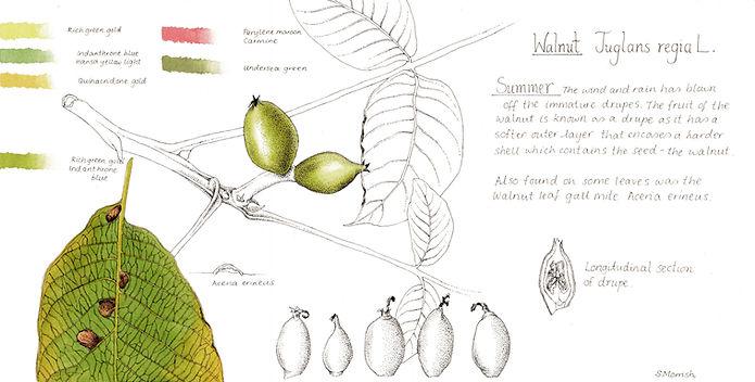 The Walnut Tree in Summer