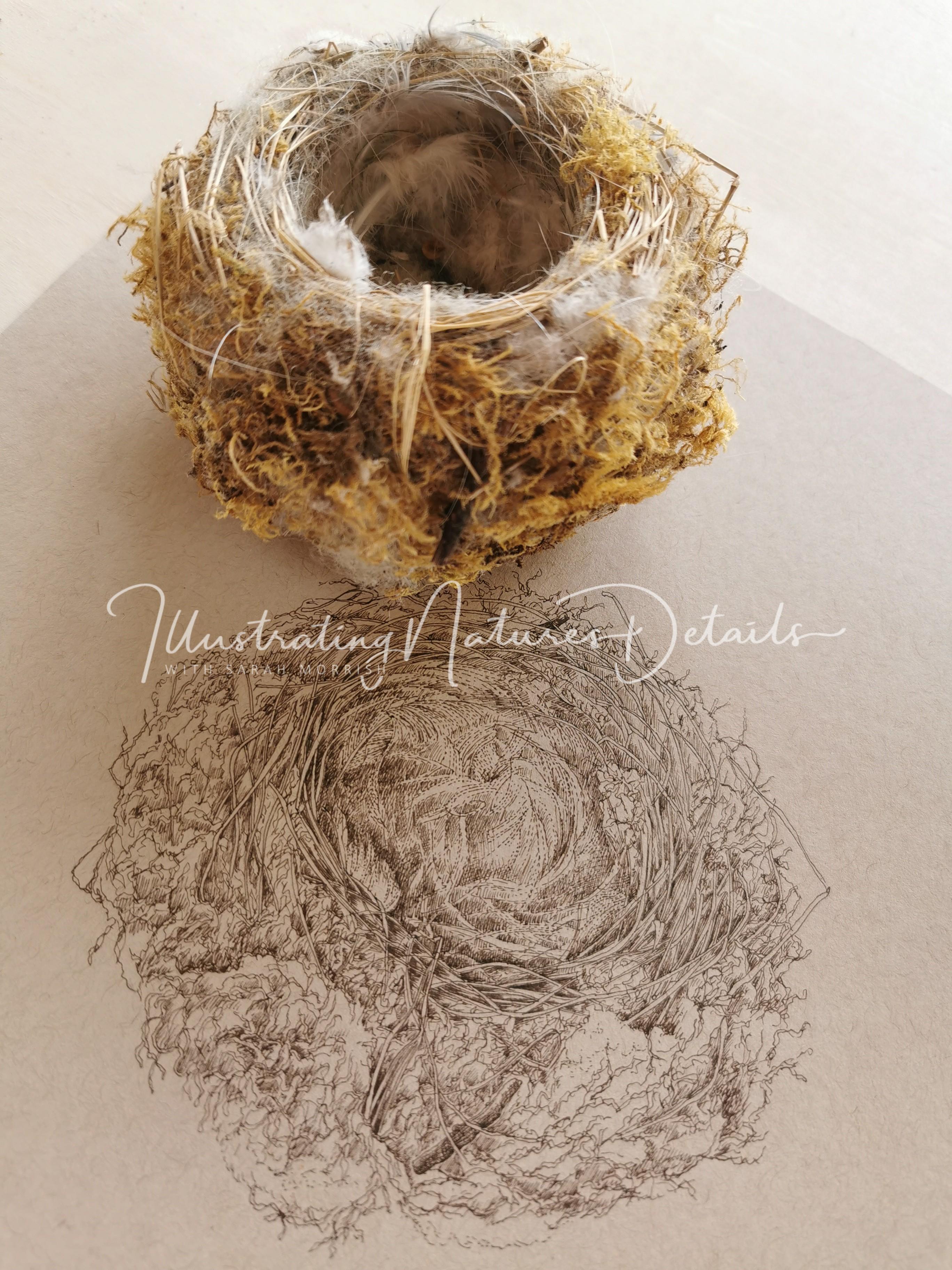 Blue tit's nest - sepia ink