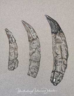 Plesiosaur teeth