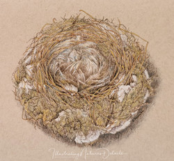 Blue tits nest - sepia ink and coloured charcoal