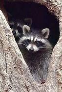#2852 Raccoons in tree_edited.jpg
