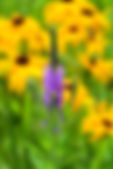 #2967 Vervain and rudbeckia