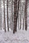 #2808 Pine trees in snow