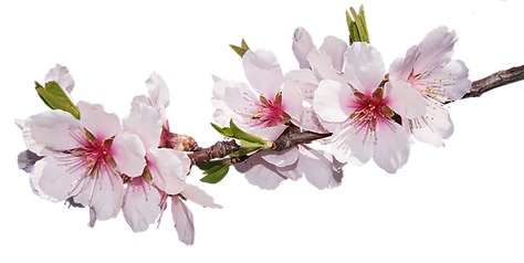 blossom-3057109_960_720.png