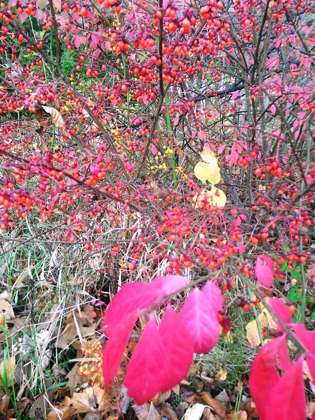 Berries in Fall 1.jpg