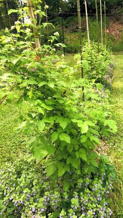 Staked Black Raspberries